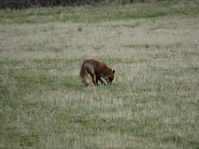Species Spotlight: Fox